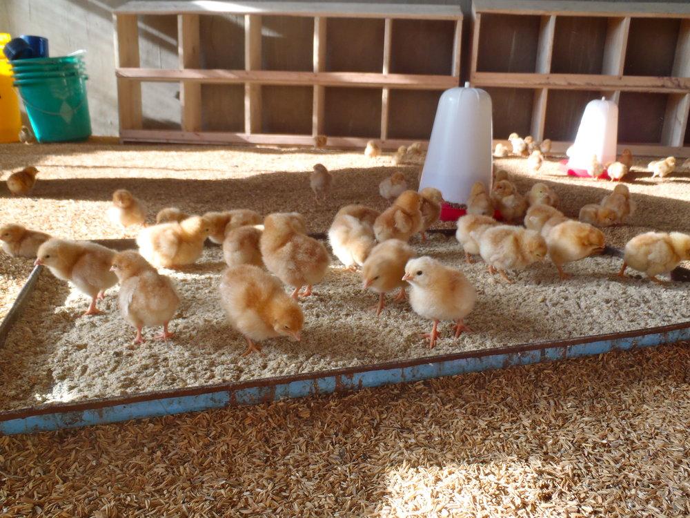 Zamura Farms - chicks.JPG