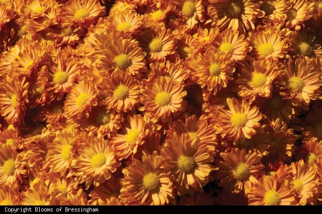 Dendranthemum 'Pumpkin Igloo' flower color really pops with other early-fall flowers and foliage.