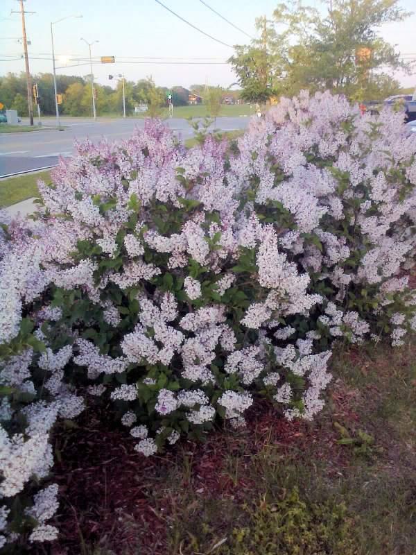 'Miss Kim' lilac hedge