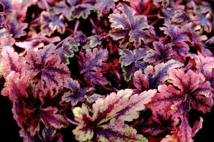 Tiarella fall and early winter foliage colors