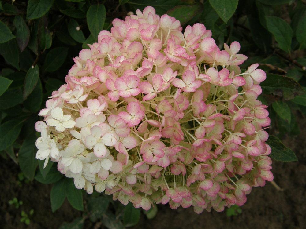 Bobo hydrangea flower head.jpg