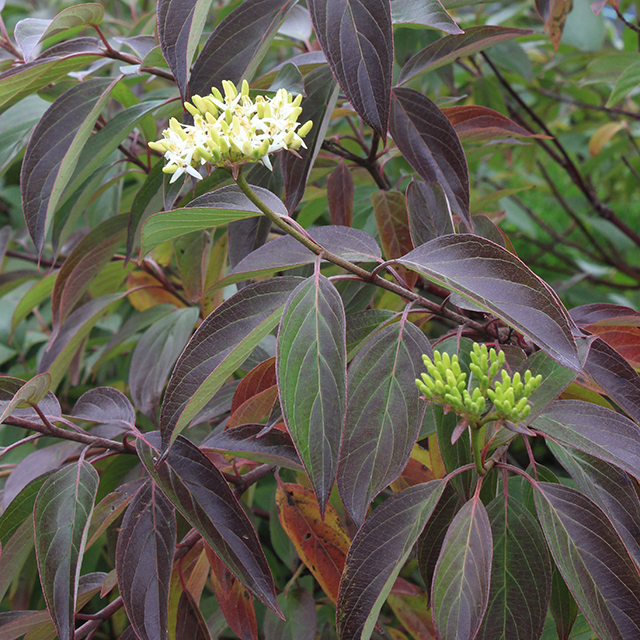 Red_Rover_Cornus_dogwood.jpg