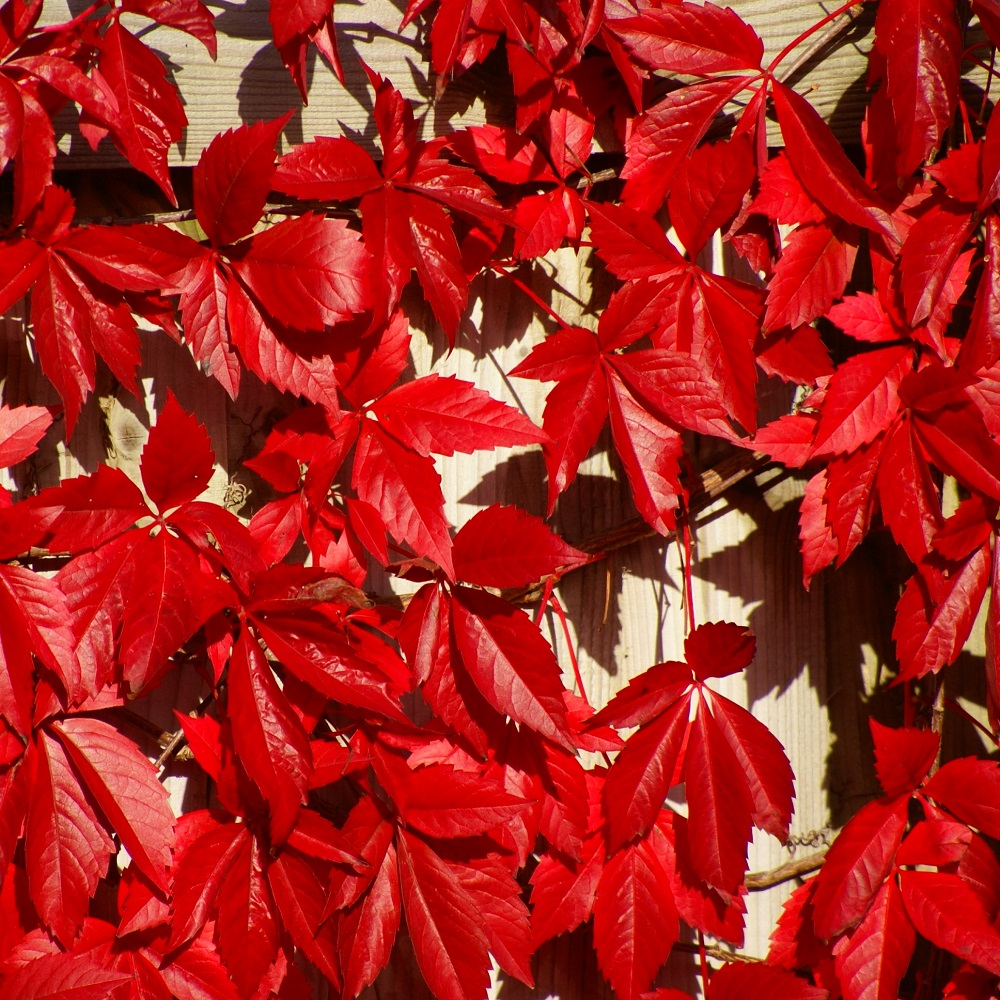 Parthenocissus quinquefolia  'Red Wall'