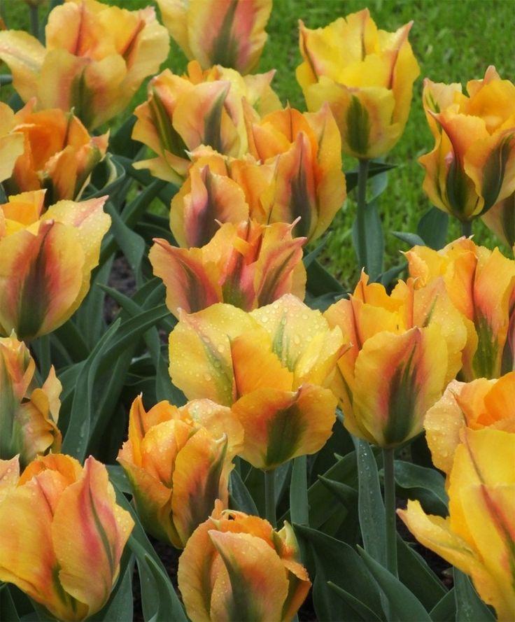 Tulip 'Golden Artist'