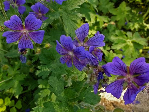 Geranium 'Magnificum' from Roy Diblik's Nursery