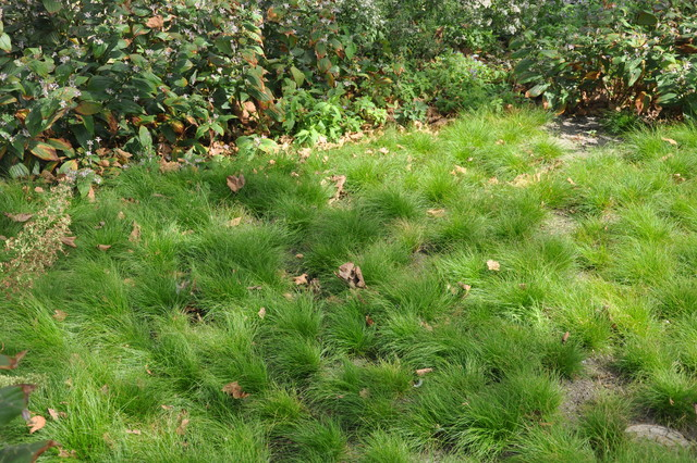 Carex eburnea landscape.jpg