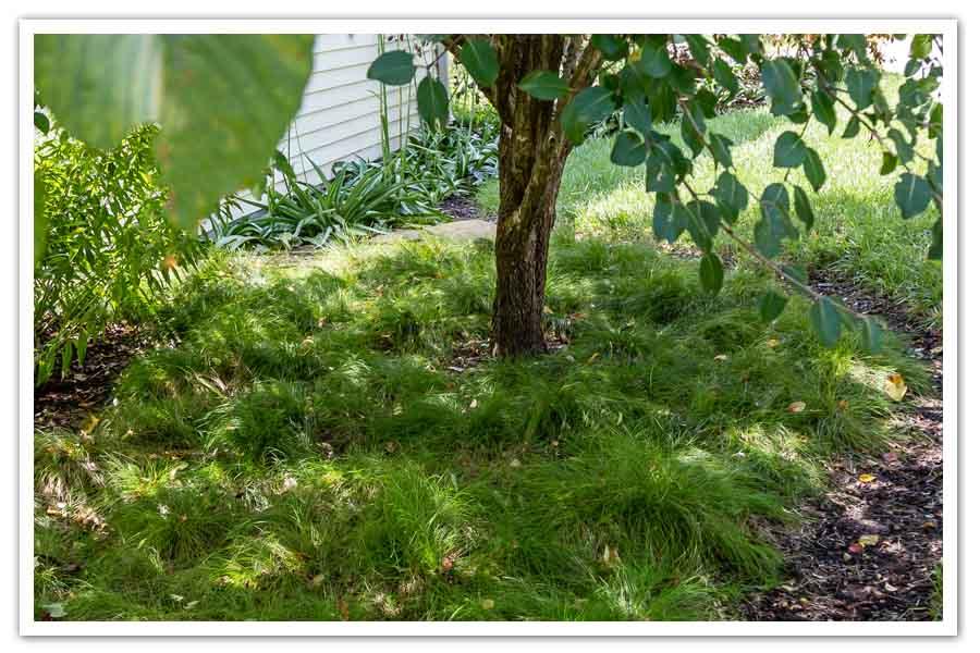 Carex-eburnea-Bristle-Leaf-Sedge-2.jpg