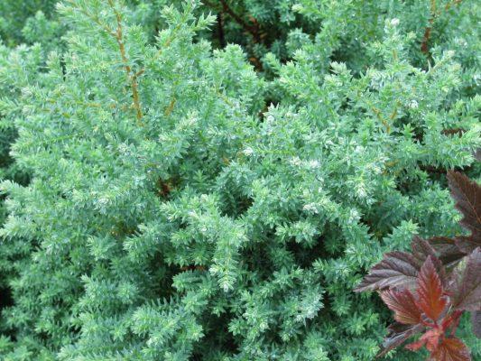 Chamaecyparis_thyoides_rubicon_foliage-2-533x400.jpg