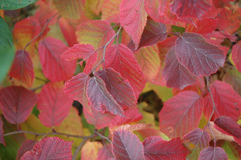 Corylus americana fall foliage.jpg