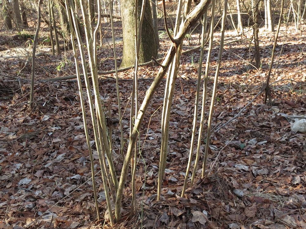 corylus-americana multiple stems.jpg