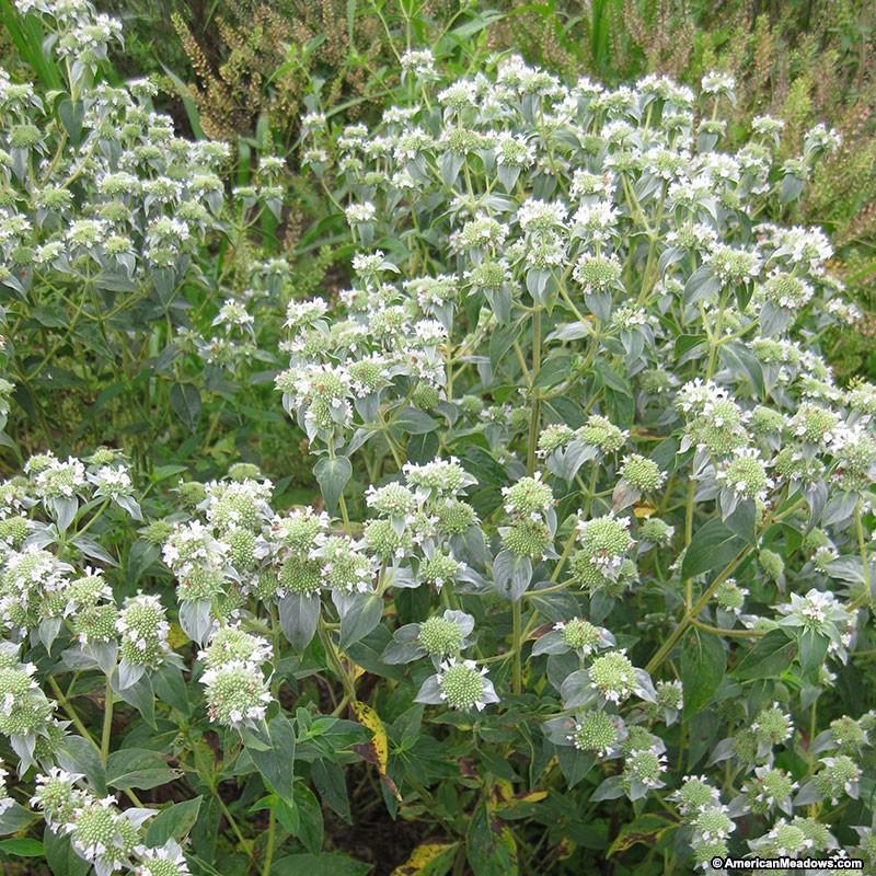 pycnanthemum_muticum-bigleaf-mountainmint.jpg