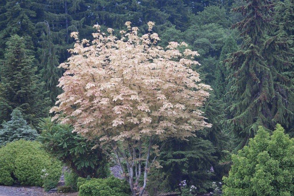 Acer macrophyllum Mocha Rose1.jpg