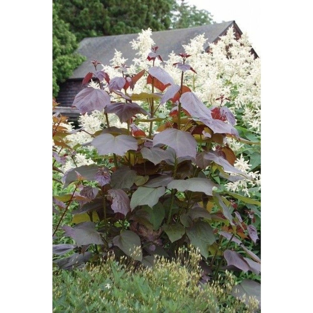 catalpa_x_erubescens_purpurea_pollard