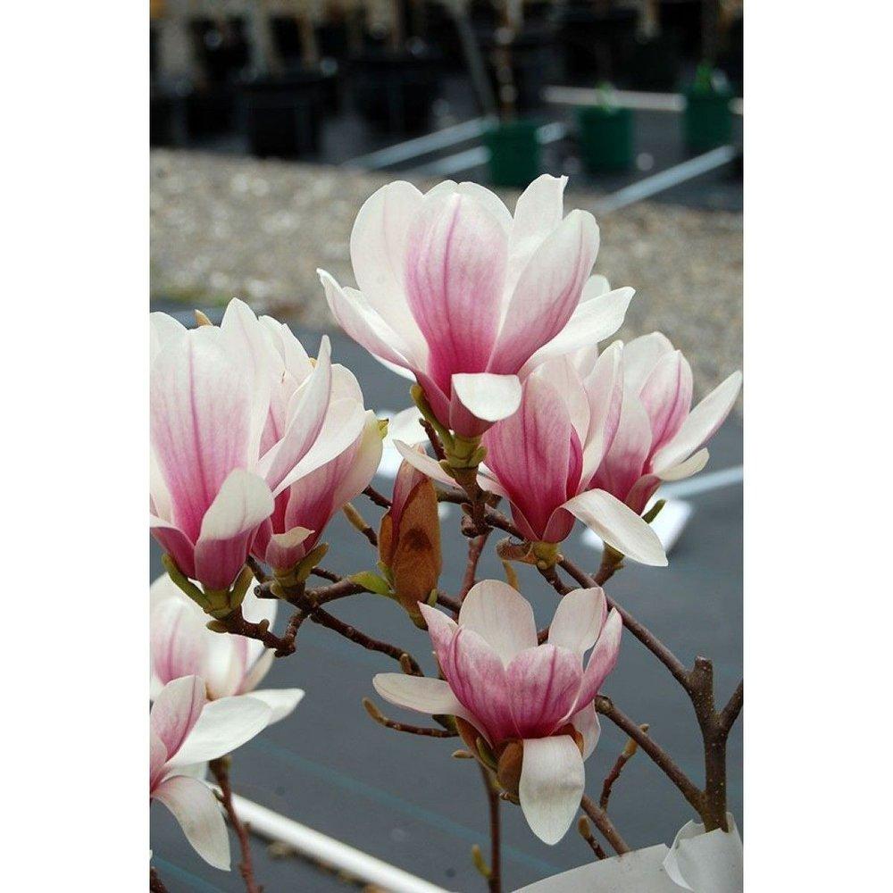 magnoliaxmilliken_flwrs.jpg