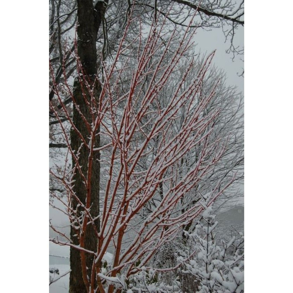 acer_pennsylvanicum_erythrocladum_stems_in_snow_-_february_22_2010-2_640x426_.jpg