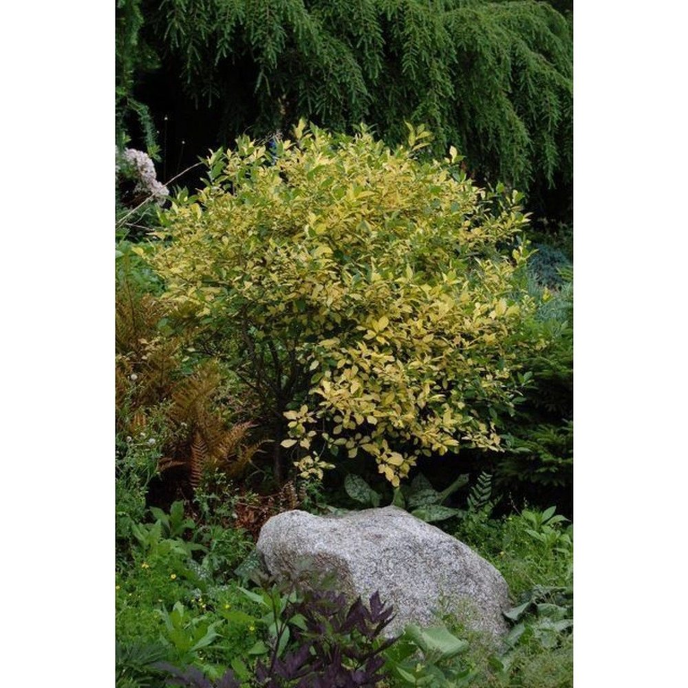 ilex_verticillata_sunsplash_habit_-_june_2_2010.jpg