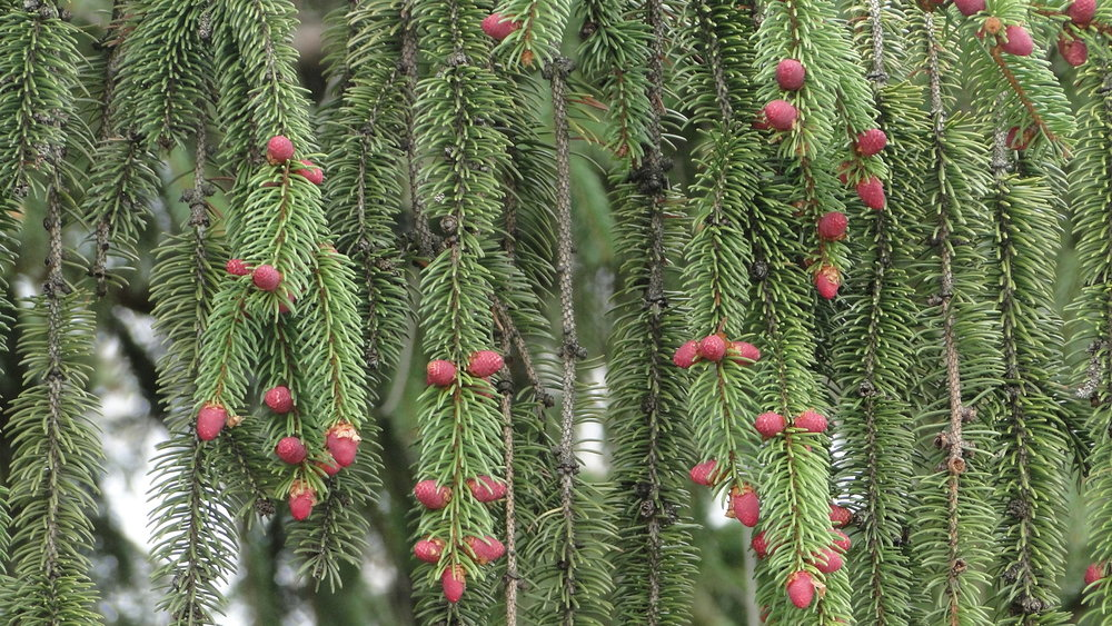 Emerging male Norway spruce cones