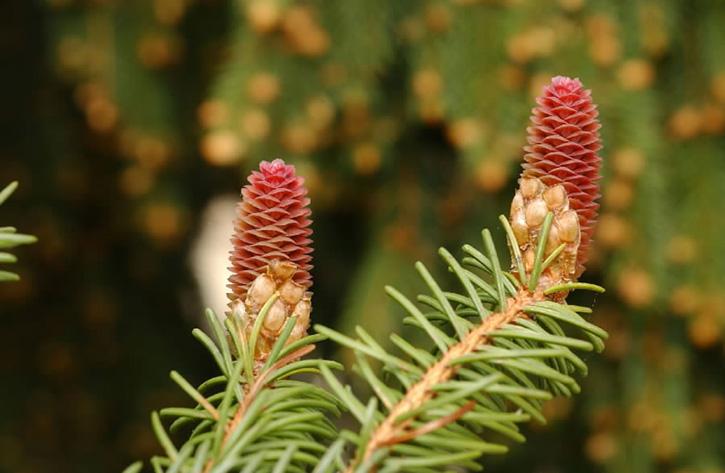 Emerging female Norway spruce cones