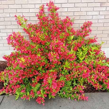 sonic-bloom red-.jpg