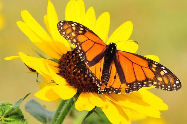 715eb-monarch.jpg