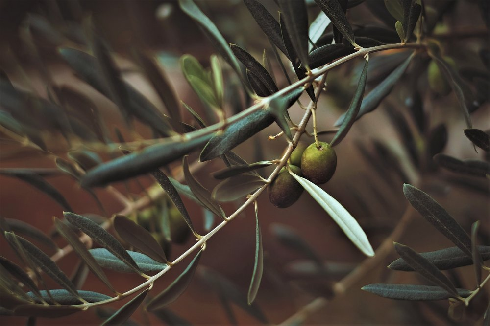 Olea,lateinisch die Olive.Unternehmerische Werte, auf die Sie sich verlassen können. -