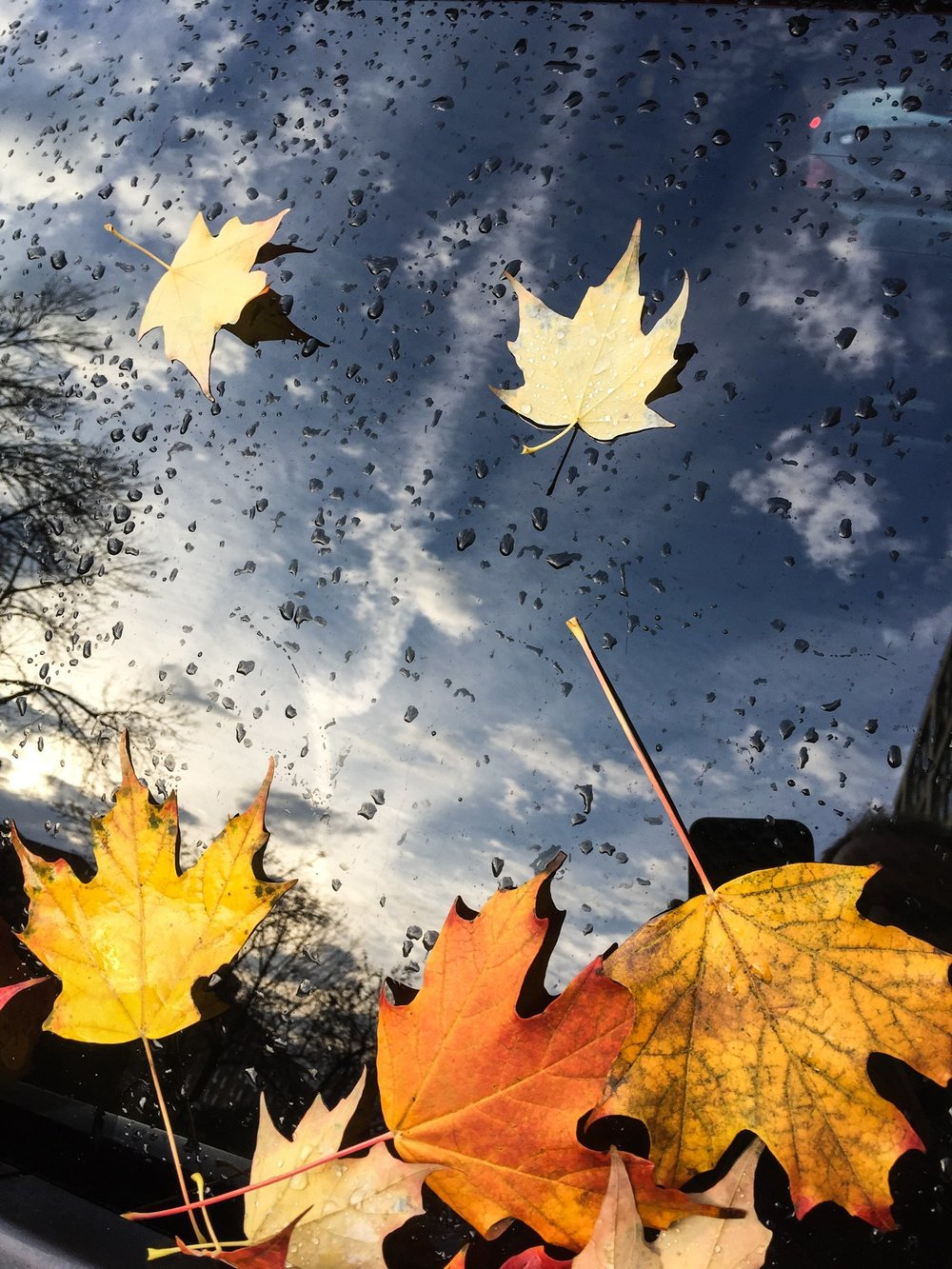 fallen-maple-leaves-on-windsheild_4460x4460.jpg