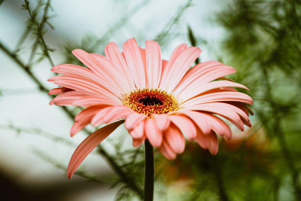 light-pink-gerbera-daisy_4460x4460.jpg