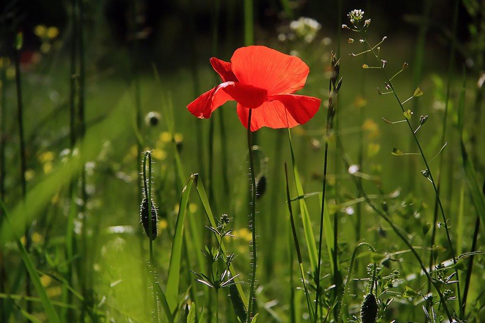poppy-3137588_1920.jpg