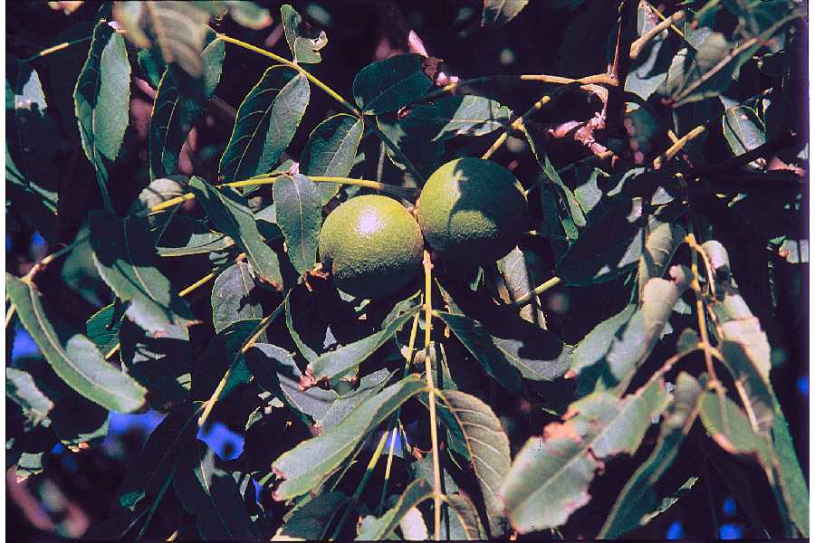 Black Walnut Fruit.jpg