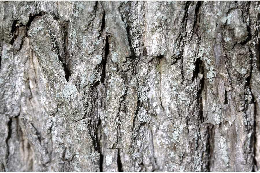 Black Walnut Bark.jpg