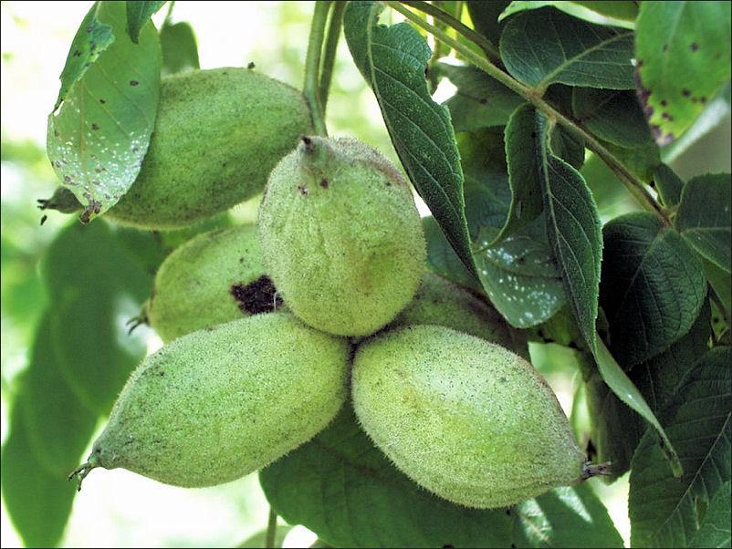 Butternut Fruit.jpg