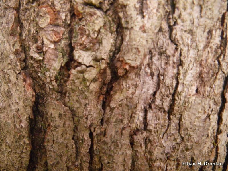 White Oak Bark.jpg