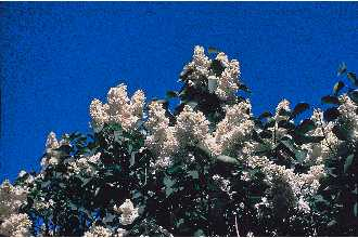 Lilac Flower.jpg