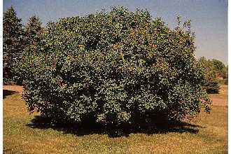 Lilac Tree.jpg