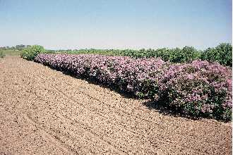 Lilac Bushes.jpg