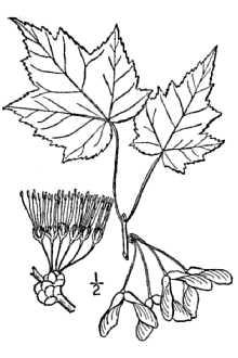 Red Maple Leaf.jpg