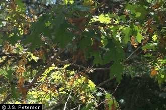 Red Oak Leaf.jpg