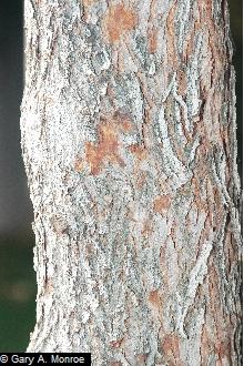 Red Bud Bark.jpg