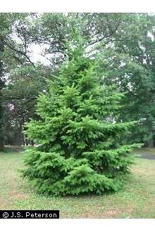 Douglas Fir Tree.jpg