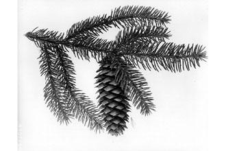 Norway Spruce Branch.jpg