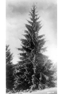 Norway Spruce Form.jpg