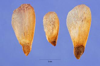 White Spruce Seed.jpg