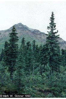 White Spruce Tree.jpg