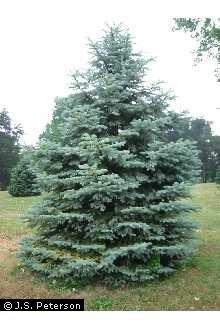 Blue Spruce Tree.jpg
