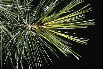 White Pine Needles.jpg