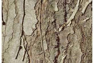 White Pine Bark.jpg