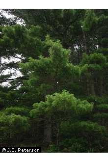 White Pine Tree.jpg