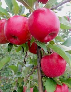 Cortland Apple.jpg