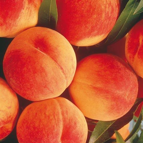 Early Elberta Peach.jpg