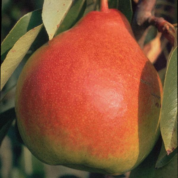Moonglow Pear.jpg